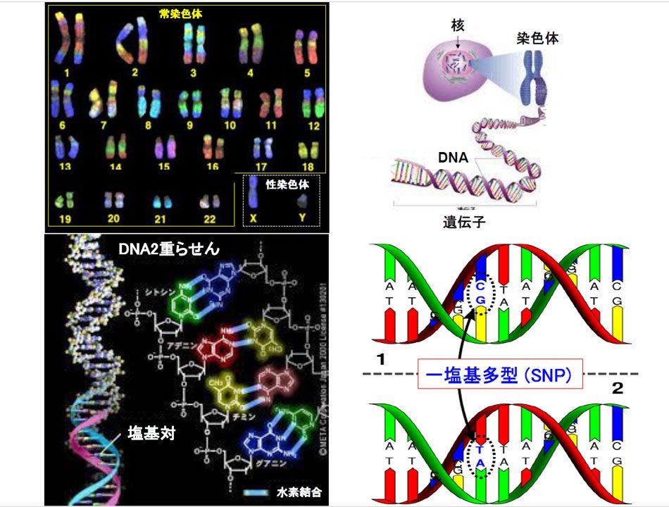 33染色体