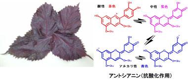 抗酸化成分3