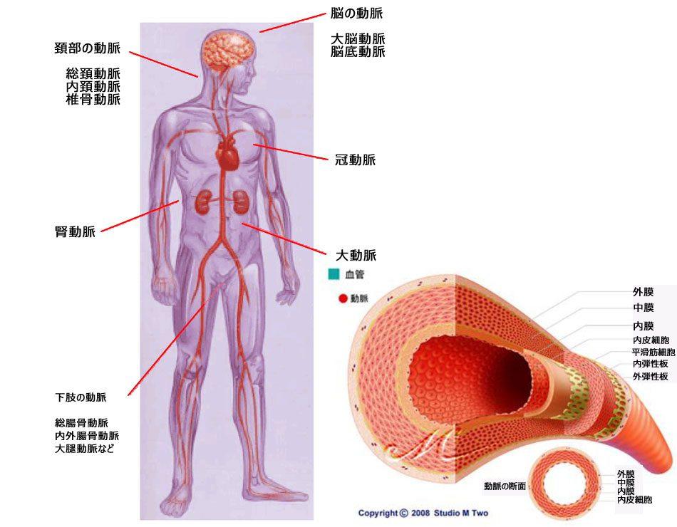 26酸化的ストレスは動脈硬化